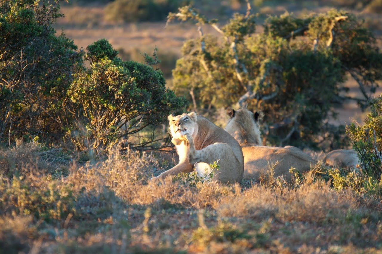 Lioness at Addo