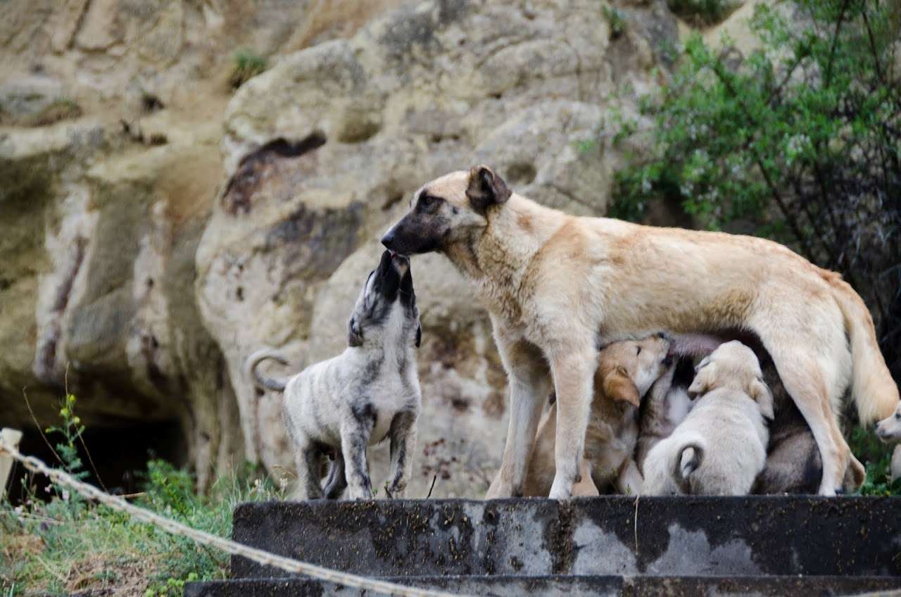 Wild dogs of Turkey