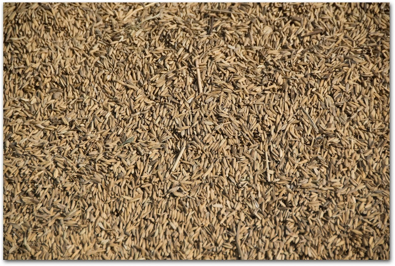 Dried rice kernels