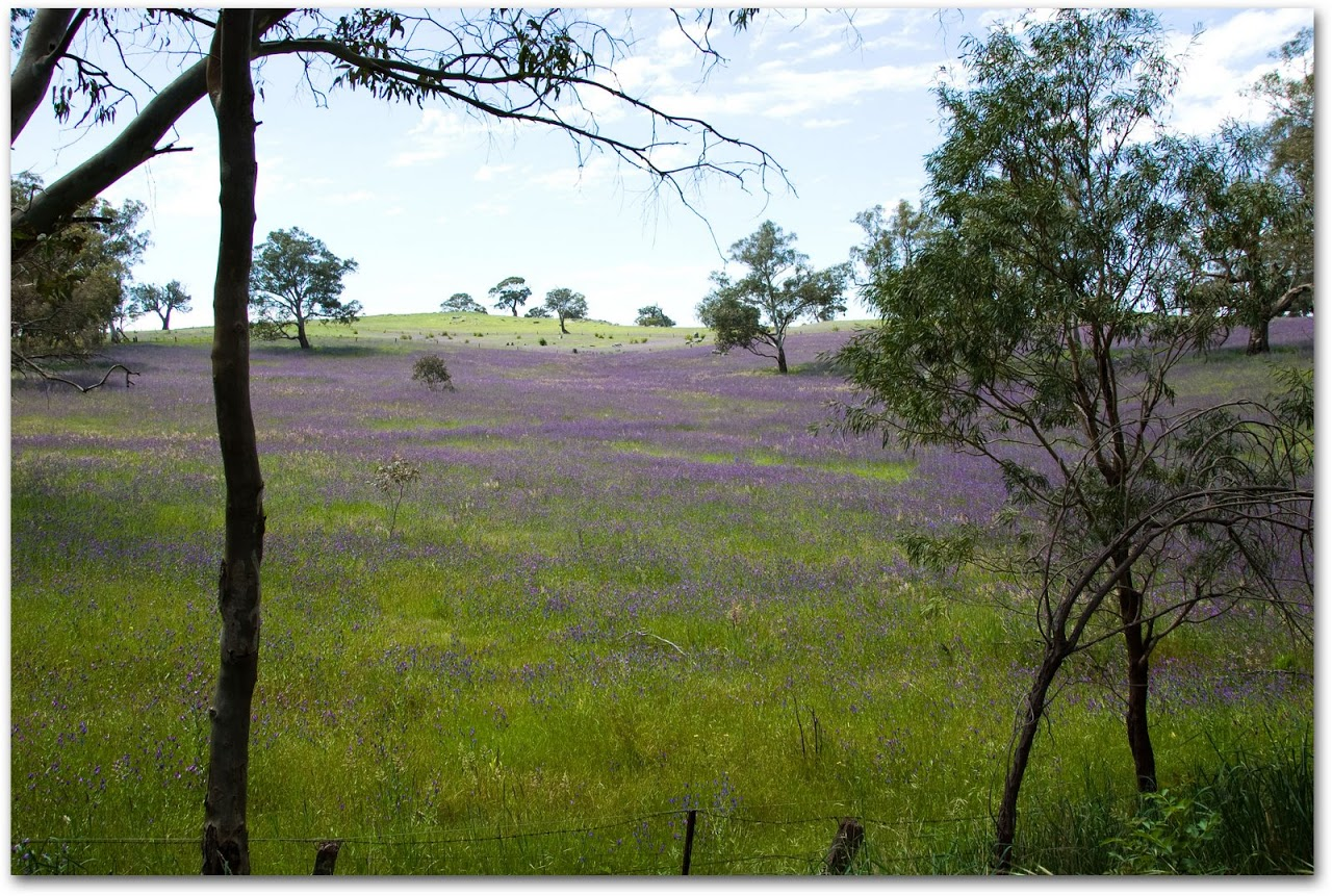 Lavender fields in Barossa Valley