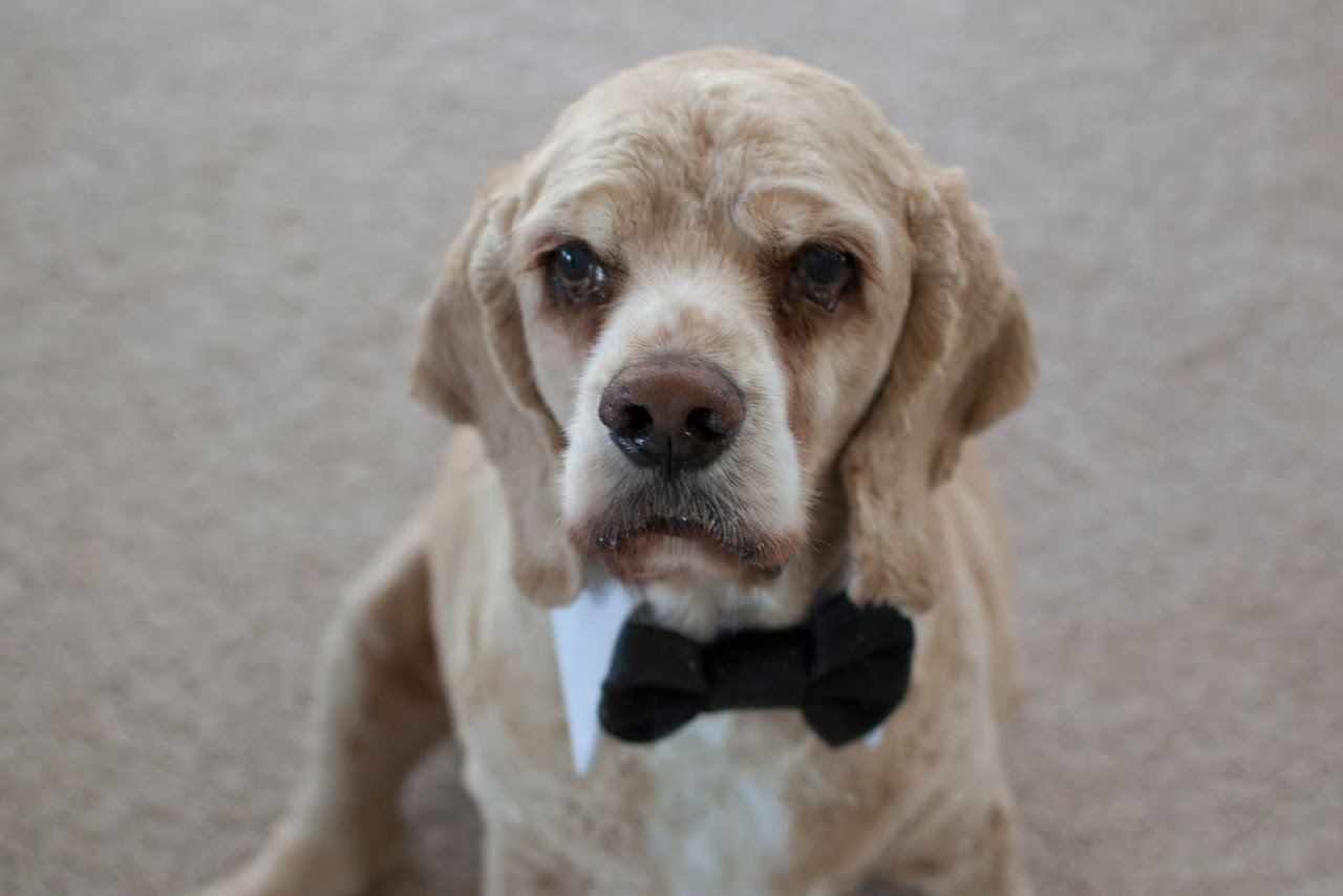Chewy in his bow tie