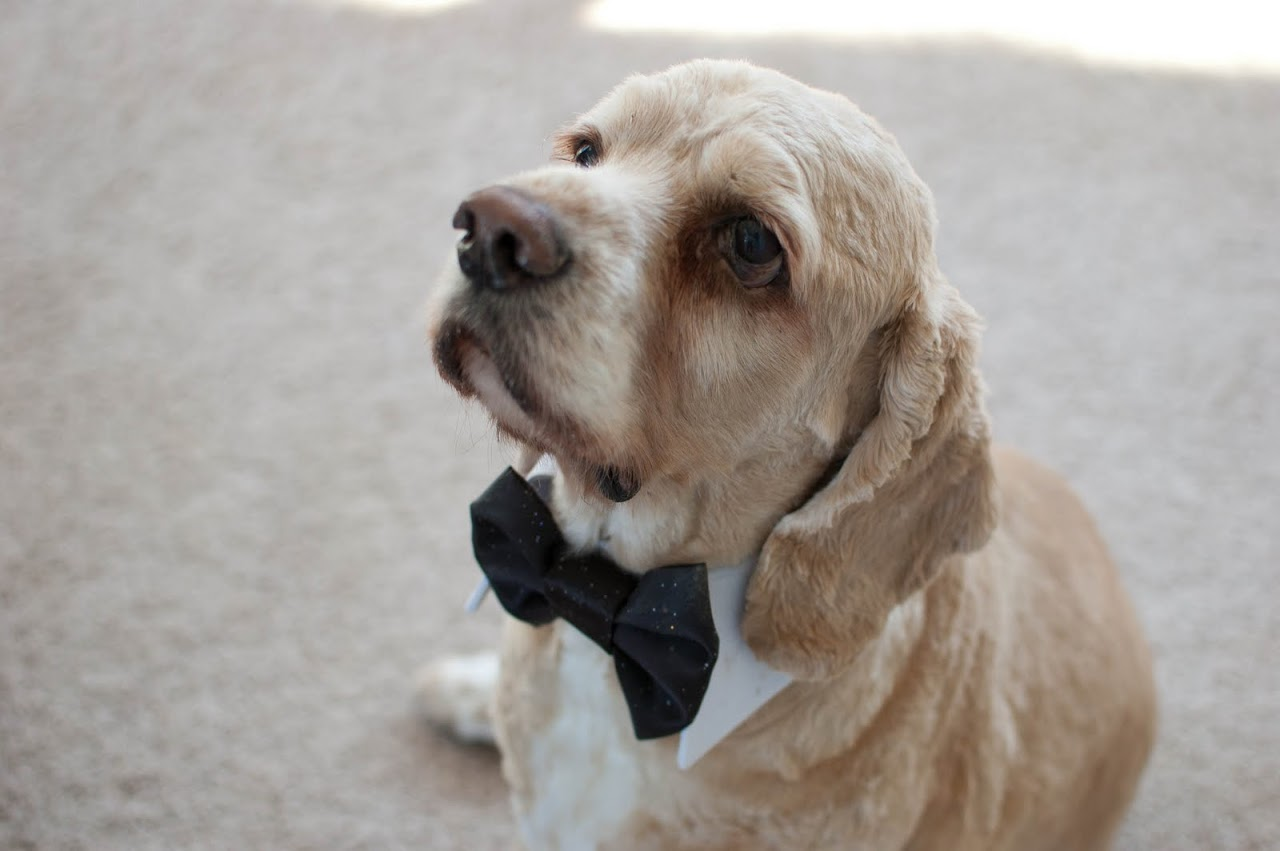 Chewy in his bowtie