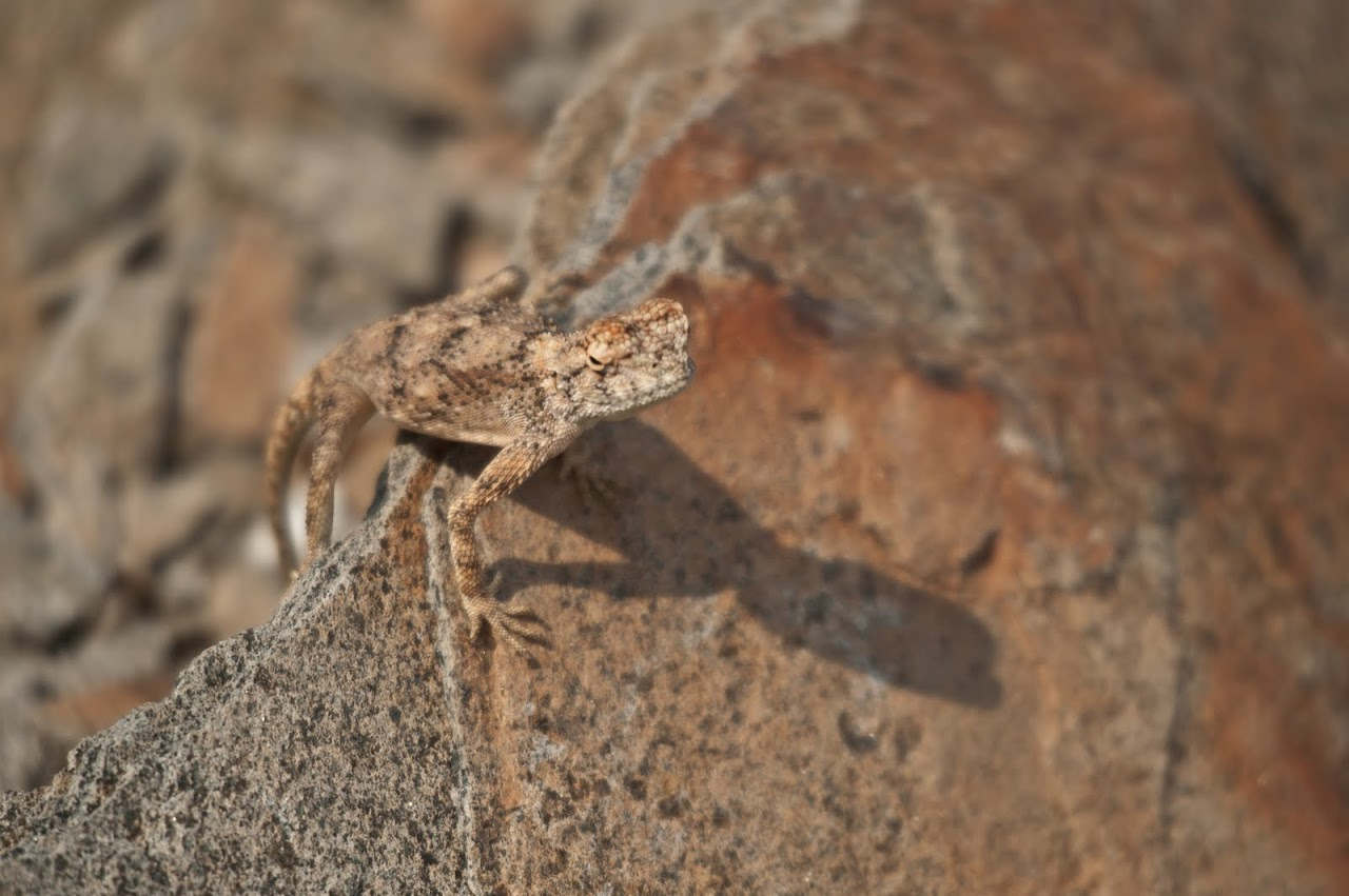 Lizard in Namibia