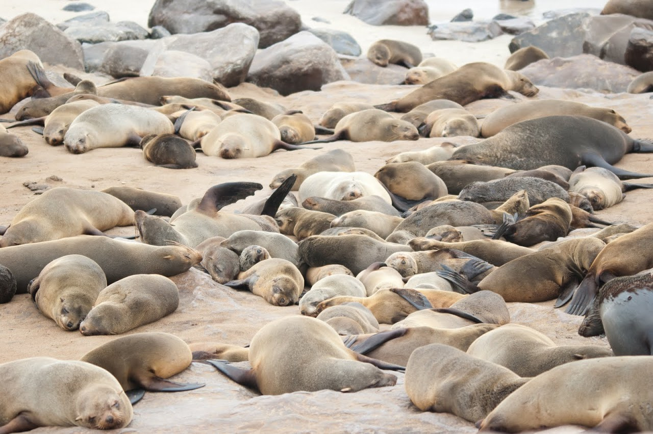 Seals at Cape Cross