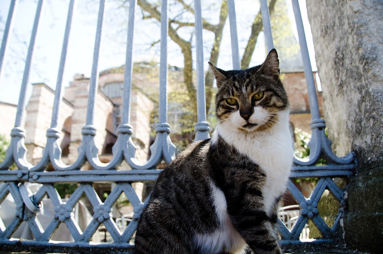 Cat in front of Hagia Sophia