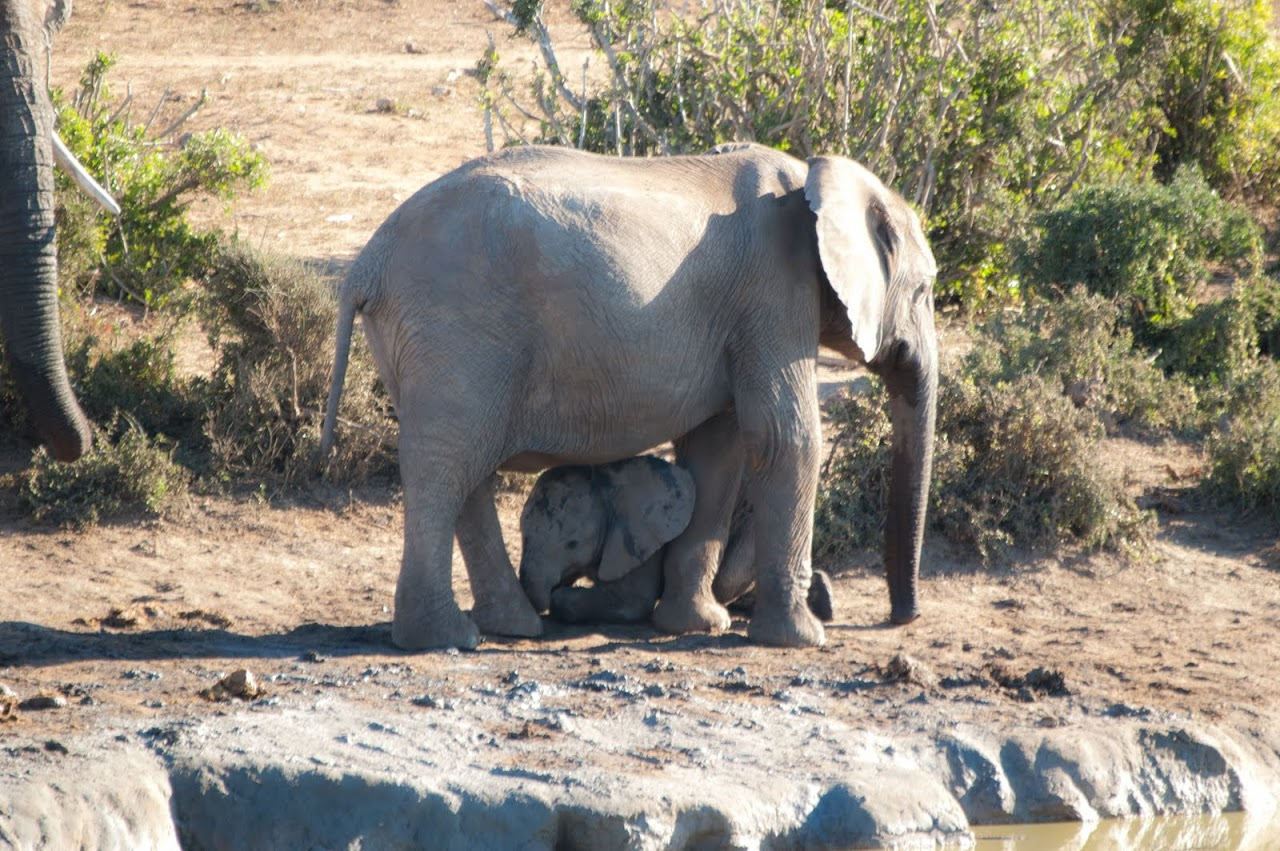 Elephant with baby at Addo