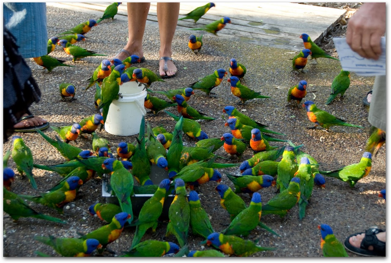 Lorikeets feeding at Magnetic Island
