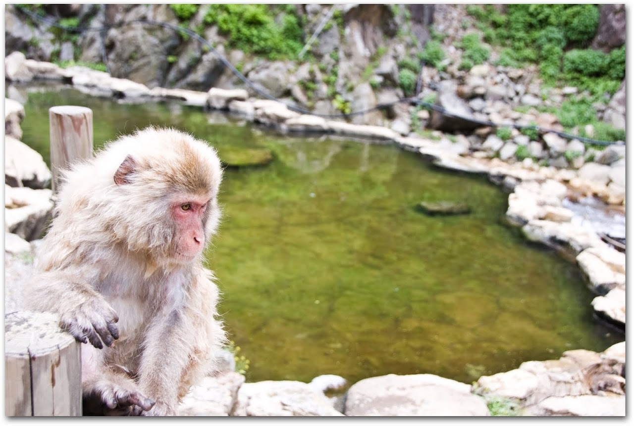 Monkey lounging at mineral ponds