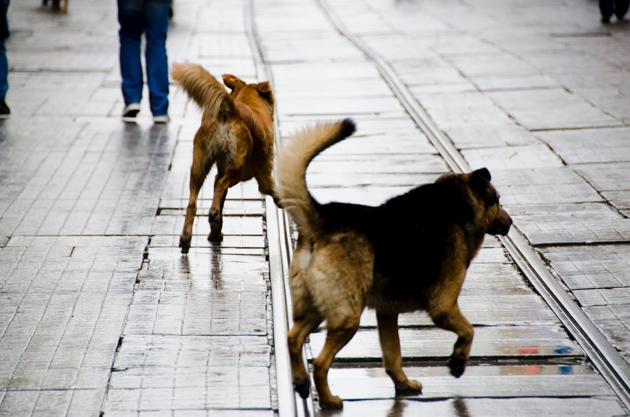 Dogs on Istlikal Street
