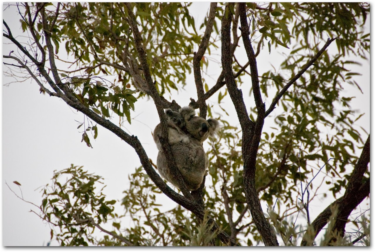 Baby koala with mama koala in tree