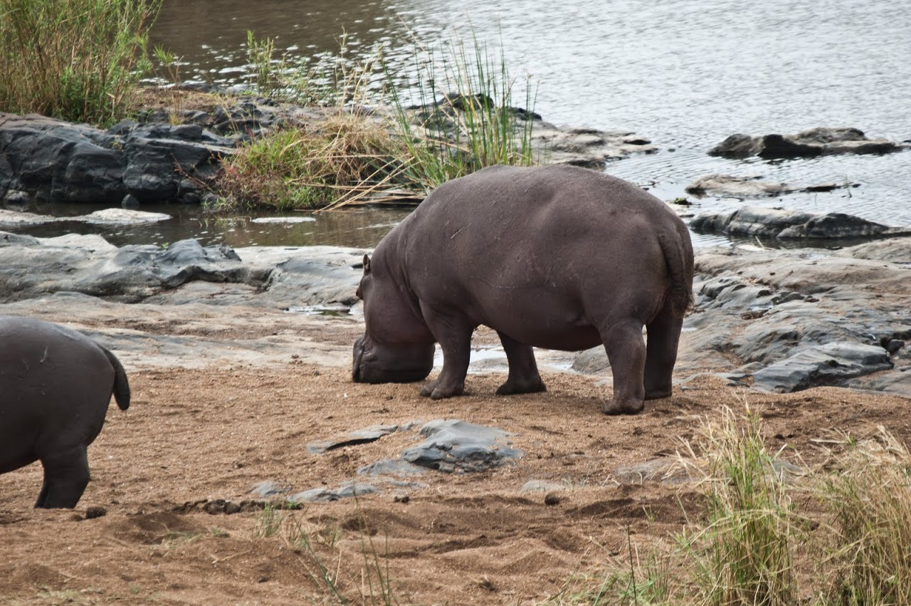 Hippo butts